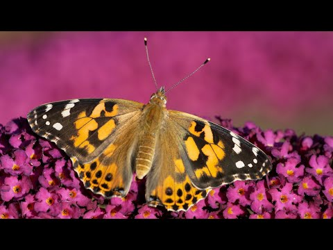 Earth - Invasion of painted lady butterflies predicted