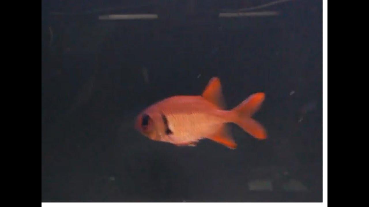 bigeye squirrelfish