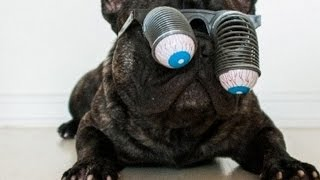 Top 10 Smart French Bulldogs