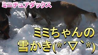 【ミニチュアダックス】ミミちゃんの雪かき(*''ω''*)