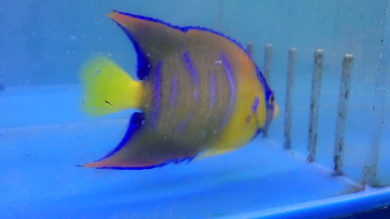 all about the queen angelfish gerber 39 s tropical fish