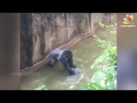 Gorilla killed to save child at zoo   Latest Tamil News   Cincinnati Animal   YouTube 720p