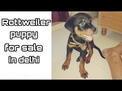 rottweiler-puppy-for-sale