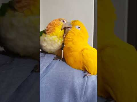 Topaz the golden conure and Nacho white bellied caique