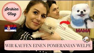 Wir kaufen einen Pomeranian Welpe in Serbien! l Serbien Vlog l Sara Desideria