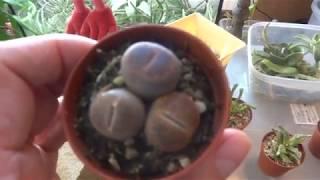 Комнатные цветы/растения. Новичок литопс. Мини коллекция живых камней.