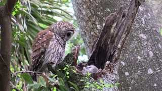 Nesting Barred Owl Part 1