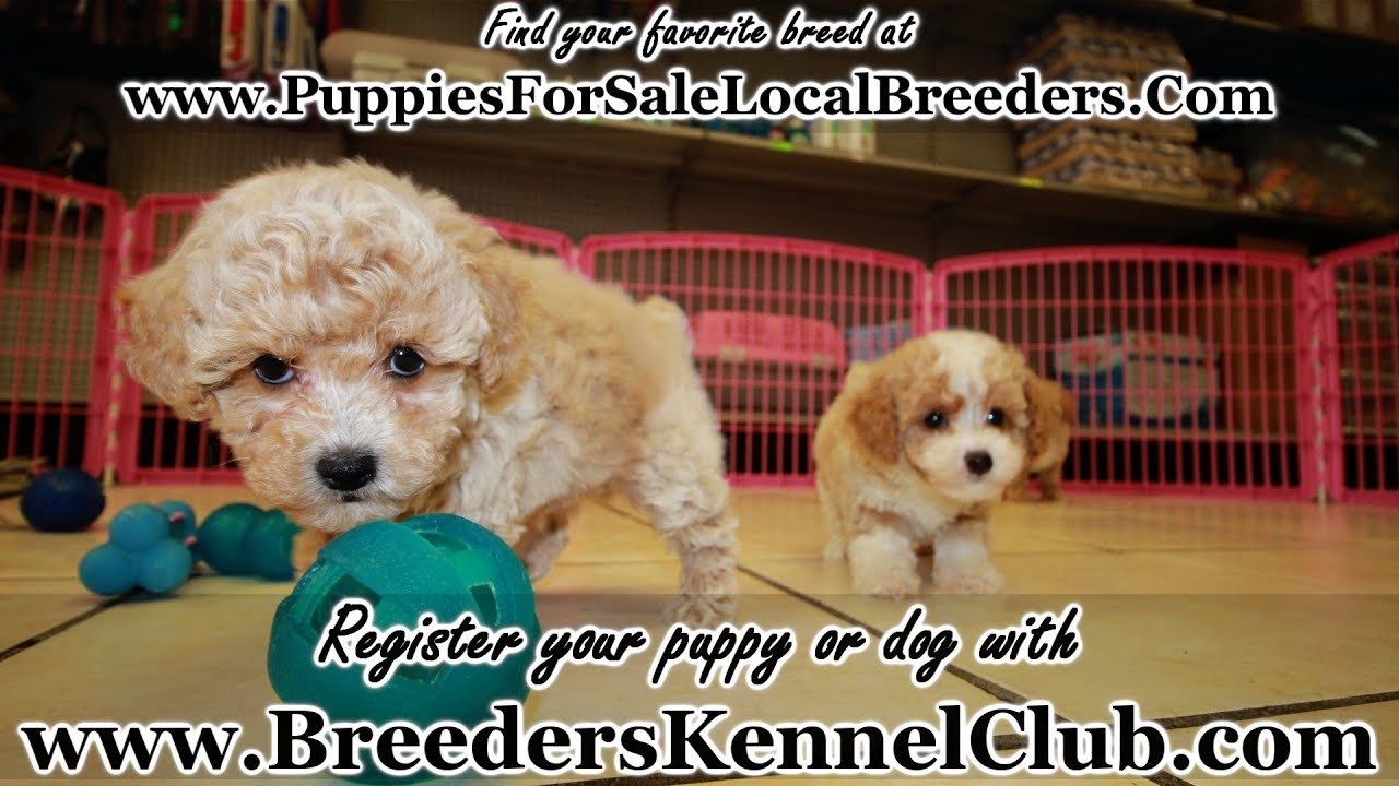 Apricot Toy Poodle Puppies For Sale Georgia Local Breeders