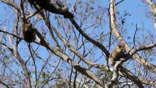 オーストラリアのグレートオーシャンロード沿いで野生のコアラの群れを...