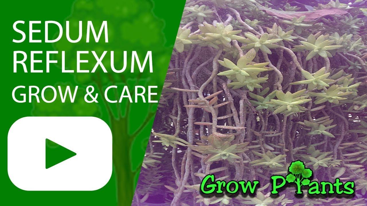 9 Easy Care Sedums   World of Succulents
