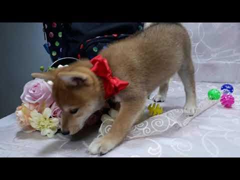 PuppyFinder.com : Shiba Inu Banana
