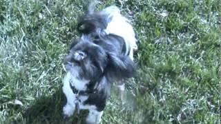 Dog Play (cocker Spaniel, Jack Russell, Shih Tzu)