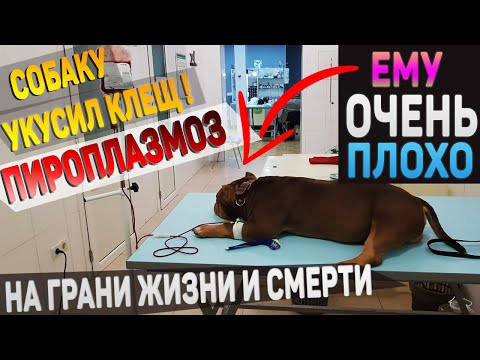 Когда твоя собака больна. Собаку укусил клещ. Пироплазмоз. Насколько опасно?