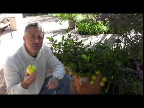 Dwarf Meyer Lemon Tree success