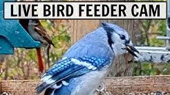 LIVE Bird Feeder Cam in Ohio [20+ species observed!]