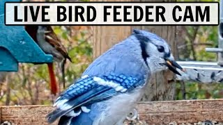 LIVE Bird Feeder Cam in Ohio [20+ species observed!]
