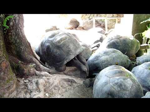Giant Aldabran land tortoises in Mahe, Seychelles