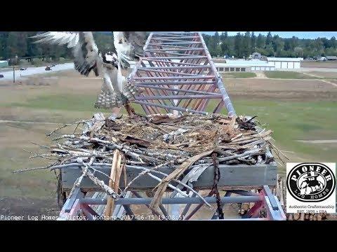 Pioneer Log Homes Osprey Victor, Montana 6 15 17  Three babies 3rd hatch today