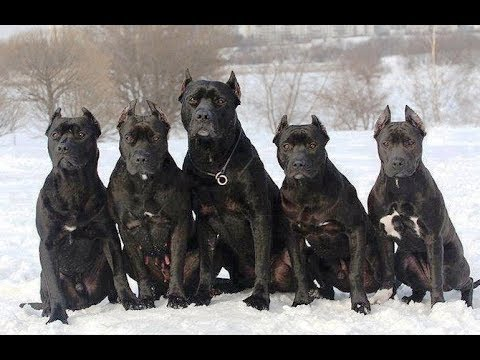 The Black Pitbulls