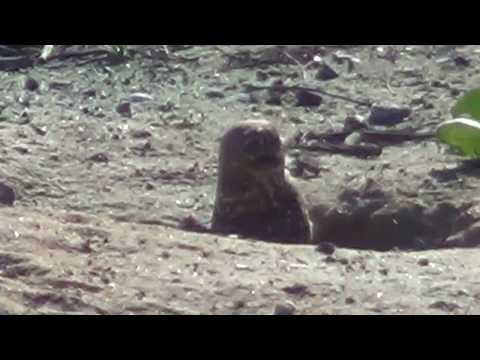 North American Wildlife --- Burrowing Owl (part 2-of-2)