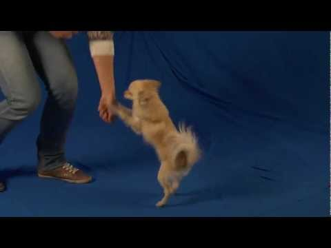 Cute and Hilarious Chihuahua Dog William Auditions for Talent Hounds