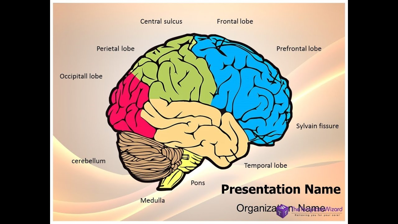 Neurology Human Brain Powerpoint Presentation Template