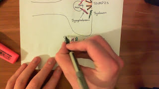 Introduction to SNARE Proteins