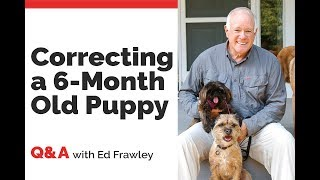 Q&A on Correcting a 6 Month Old Puppy