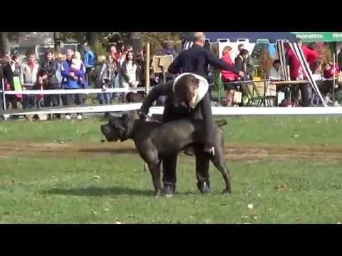 "Кане корсо (Cane Corso) - областная выставка собак ""Сумы-осень 2015"""