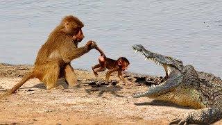 動物は別の動物を救う マザーバブーン、ワニの攻撃から彼女の赤ちゃんを...