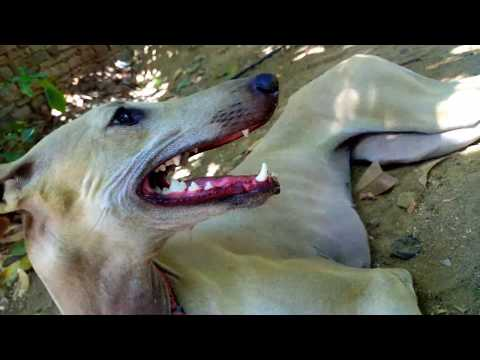 Chippiparai dog care, maintenance and characteristics