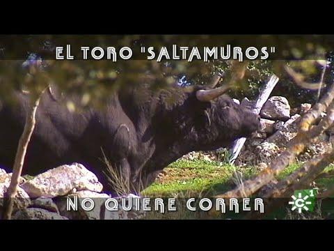 Toro saltamuros de Cayetano Muñoz se escapa del corredero   Toros desde Andalucía