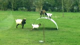 Funny animal 2018 Goats entertainment, Play funny || arabic funny video