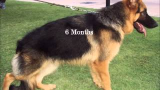 My Thai Gsd Growing Up   From 55 Days To 9 Months Old