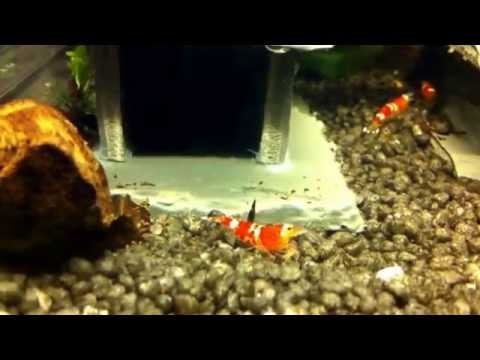 Fish tank question what are crystal red shrimps like to for Fish tank riddle