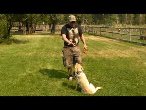 yellow-labrador-puppy-training---gracie-5-months-old-series-1---sit,-stay,-come