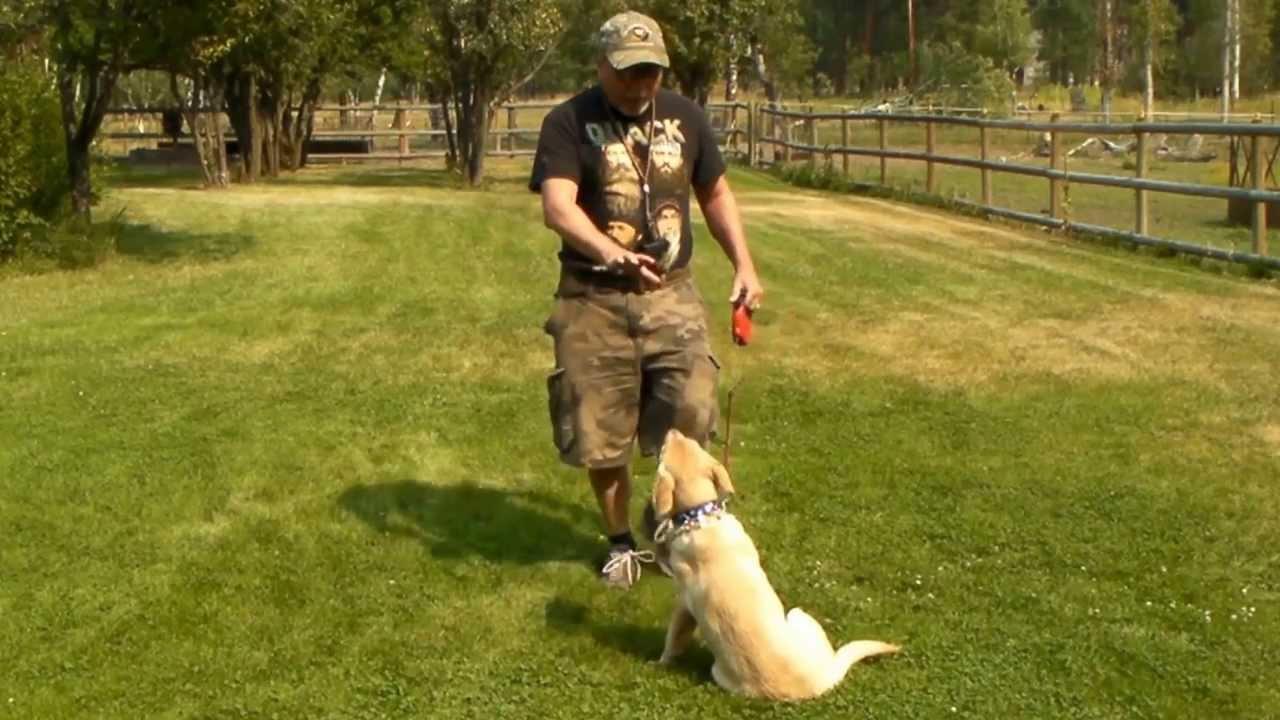 Yellow Labrador Puppy Training Gracie 5 Months Old Series 1 Sit