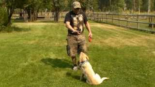 Yellow Labrador Puppy Training - Gracie 5 Months Old Series 1 - Sit, Stay, Come