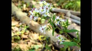 Video daisy fleabane, white snakeroot, goldern download MP3, 3GP, MP4, WEBM, AVI, FLV Agustus 2018
