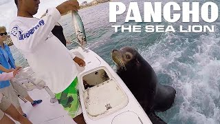 Pancho The Sea Lion - Jumps On Fishing Boats thumbnail