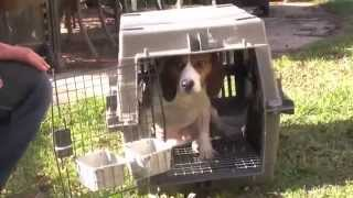 Beagle Freedom Project - Our First Rescue December 23 2010