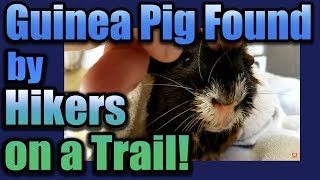 Guinea Pig Found By Hikers on a Trail!