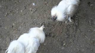 鳥骨鶏の雄が喧嘩しています。