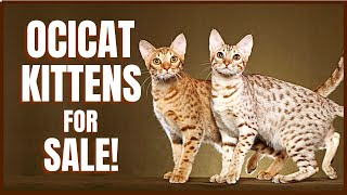 Ocicat Cat for Sale!