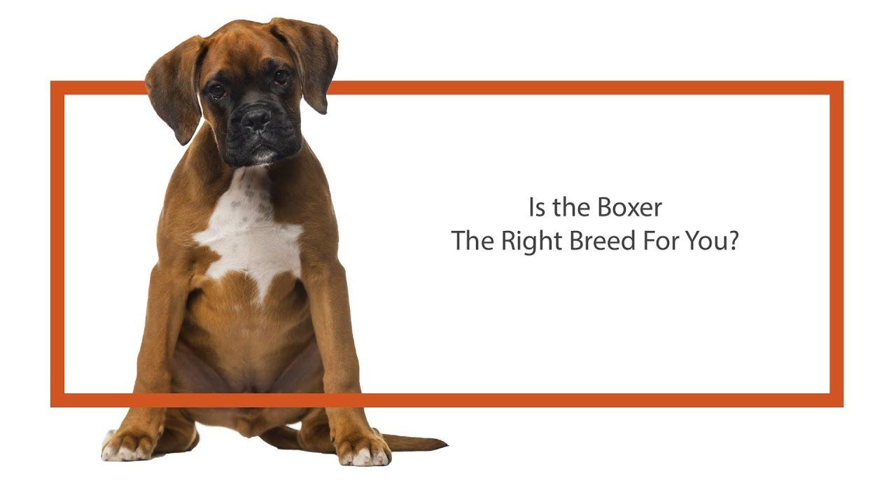 Boxer Puppies - Visit Petland Frisco, TX