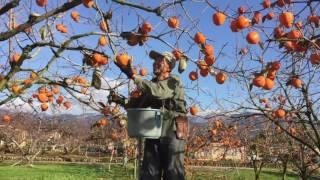 甲州百目柿、収穫再開しました