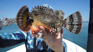 VENOMOUS Fish Caught, Can You Help me Identify It?