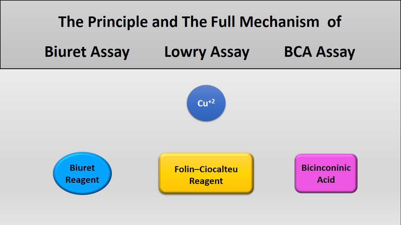 Download The principle of Lowry assay, Biuret assay, and Bicinconinich (BCA) assay protein assays