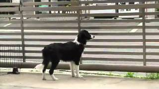 ボーダーコリーは動くものを見るとスイッチが入ってしまう~~牧羊犬の...