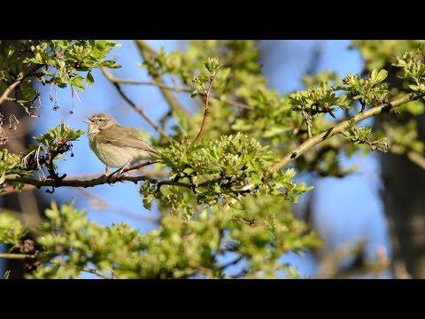 Gransanger - lille fugl med kraftig stemme